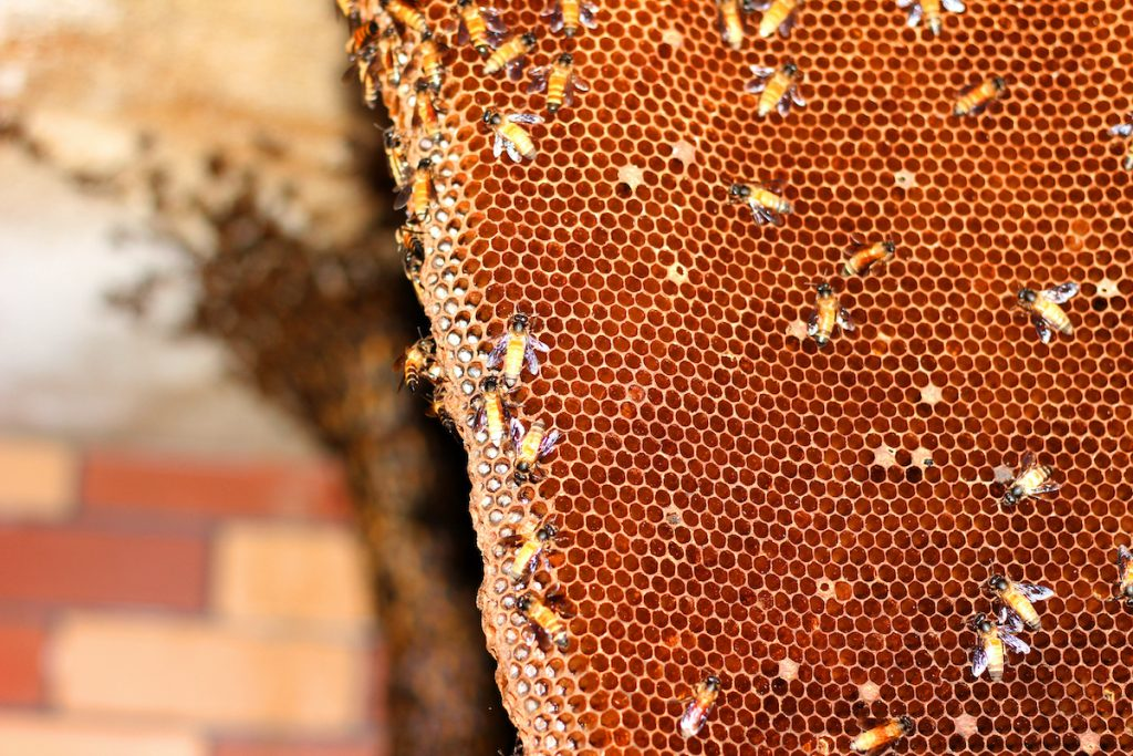 harvesting honey from the hive